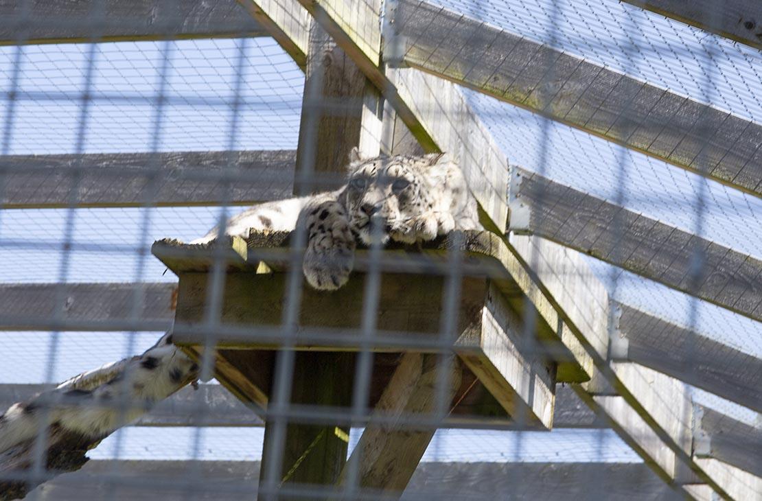 Snow leopard, amazing animals