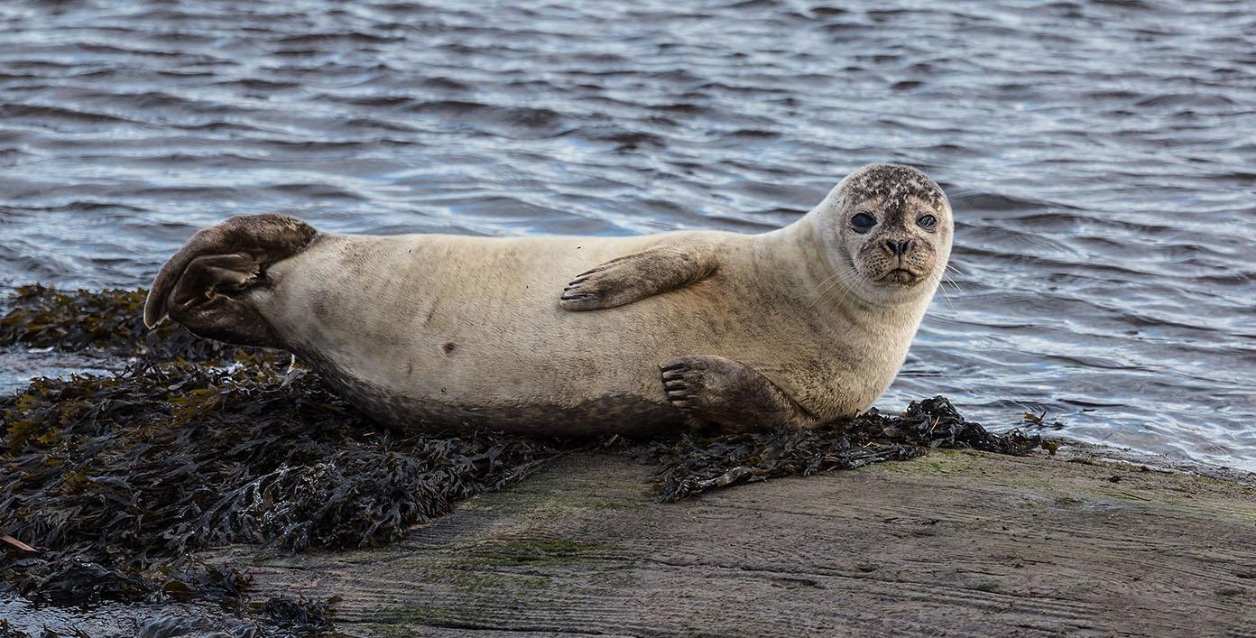 Moray Firth Seal