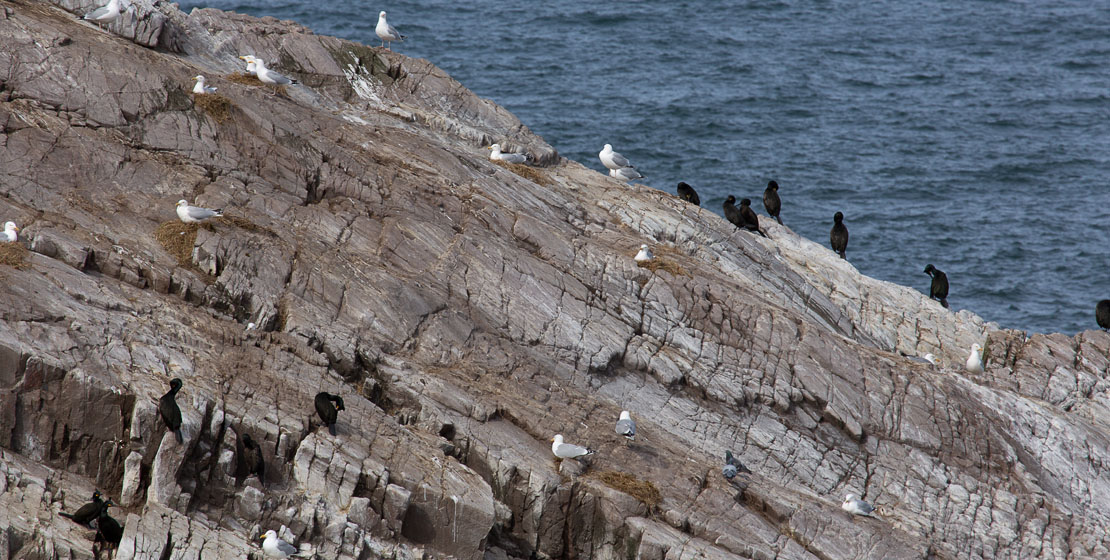 Birds at Bow Fiddle Rock