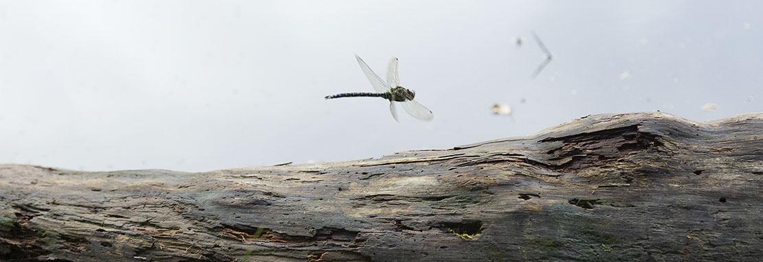 Dragonflies at Crannoch Loch