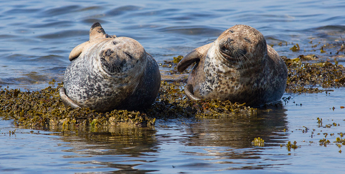 Moray Firth Seals at Portgordon