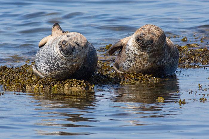 Moray Firth Seals, Portgordon Beach, Moray Coast