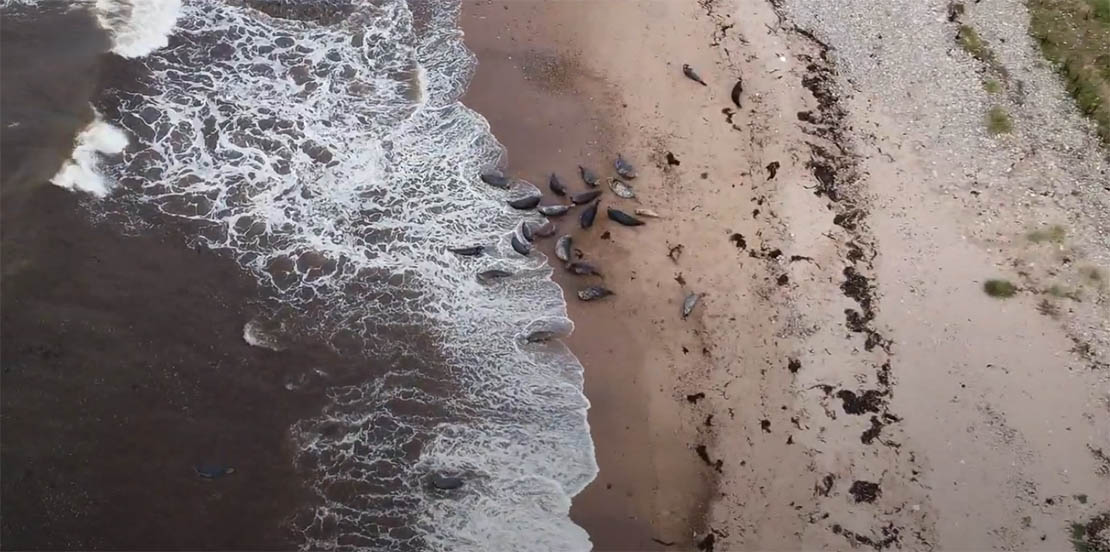 Portgordon Grey Seal on beach
