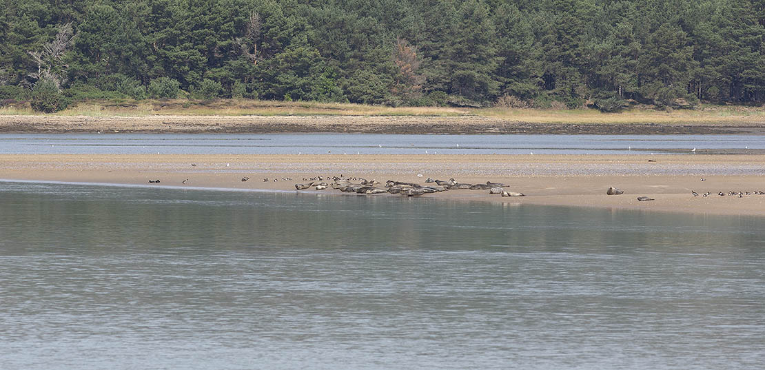 The Grey Seal colony at Loch Fleet, Sutherland, near Castle Skelbo