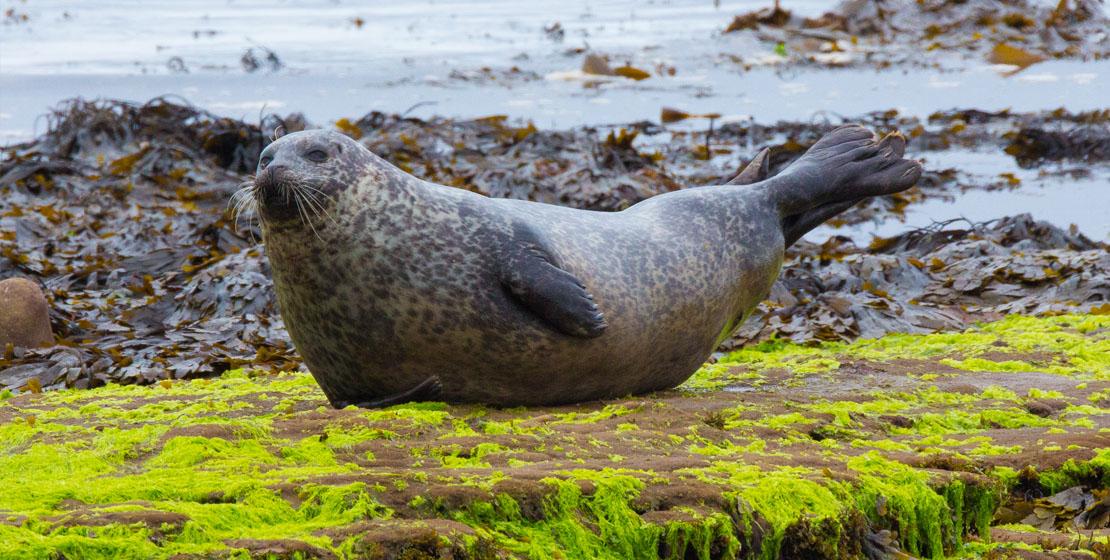Seals at Portgordon Beach